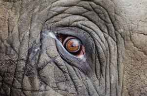 An eye of an elephant, staring deep into your soul and asking why you aren't using a better practice technique